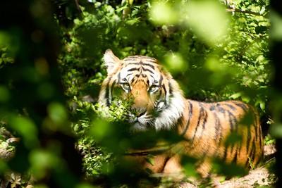 印度野生虎奪13條人命 政府怎麼都抓不到 祭出「名牌香水」迷惑抓虎