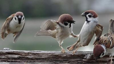 麻雀互毆!萌鳥「彼此胖揍」都被攝影師抓包 憤怒巴掌也沒少