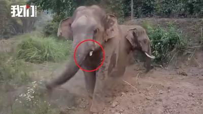 大象情侶纏綿 撞斷象牙血染水池