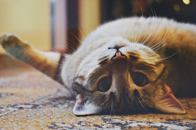 貓咪(圖/取自免費圖庫pexels)