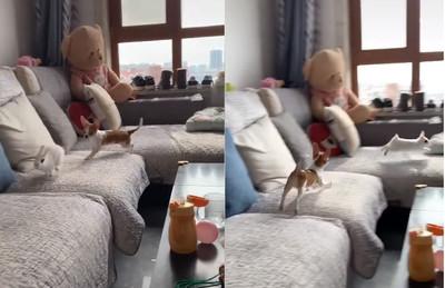 眼影兔遛吉娃娃...15秒跑3趟!