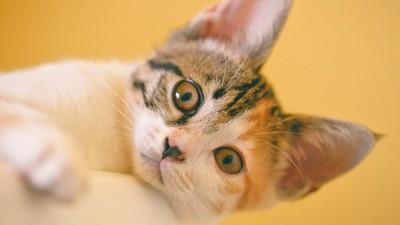 需要奴才的呵護!多和貓咪說話能「給予安心感」 讓寶貝更健康長壽