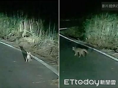 石虎被車燈閃到呆萌傻眼 50秒影片曝光