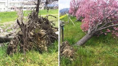 沒枯死反而「百花盛開」!櫻花樹遭颱風連根拔起,過了一年奇蹟發生
