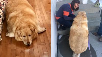 養胖就拋棄!78公斤黃金獵犬險被安樂死 愛媽陪減肥瘦成33公斤帥狗