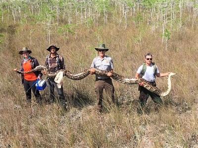 5公尺巨蟒蛇現身 肚子還帶73顆蛋