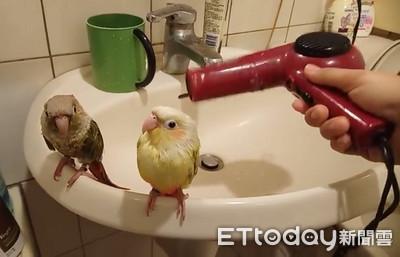 鳥遇吹風機神淡定 靜靜享受吹毛