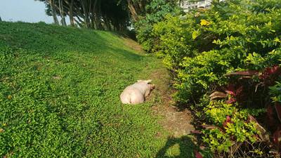 60公斤白豬跳車 動保接回安置
