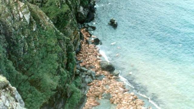 被逼上懸崖!數百隻海象欲回海邊覓食 集體跳80公尺高崖摔死