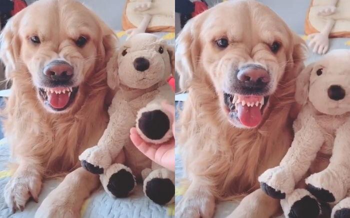 ▲▼愛忌妒的黃金獵犬Sadie(圖/翻攝自Instagram@wow.cute.dog)