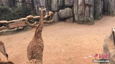 雲南遊客「投餵」長頸鹿鈔票近萬元