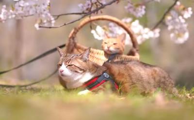萌貓成旅行達人 伴主人全國賞櫻