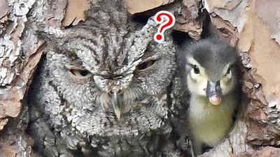 貓頭鷹「孵出鴨寶寶」一臉懵@@撿錯鴨蛋傻傻孵到破殼:你哪位?