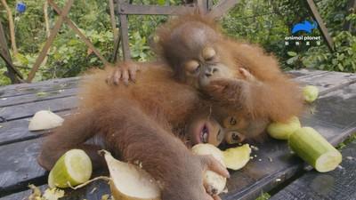 紅毛猩猩「每日減22隻」成極危物種