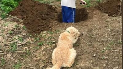 差點把狗兒子埋了! 美國爹親手挖墳 安樂死前變《禁入墳場》