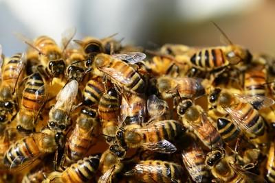 蜂后找新家 萬隻蜜蜂突襲東京街頭