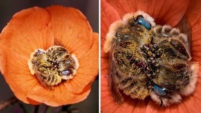 小蜜蜂「抱緊緊睡著了」把花瓣當床!攝影師憋氣拍下來,捨不得吵醒牠們