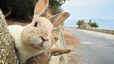 曾是工廠裡的實驗動物!超萌大久野島「野兔群」 背後故事令人感傷