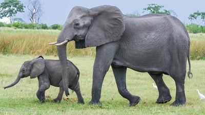 2045年大象全數滅絕?牠們長大的速度 永遠比不上盜獵的速度