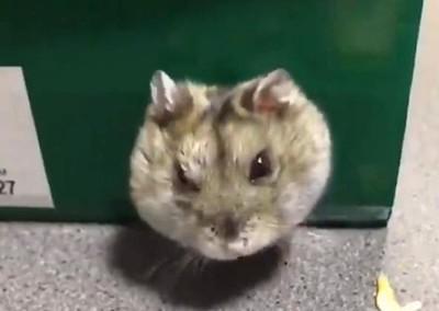 陪倉鼠玩竟拍到不得了畫面 全網驚呆