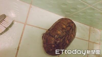 撿到烏龜「開門喜」他直接當阿公