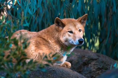 澳洲野犬闖帳篷 叼男嬰進灌木叢