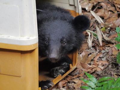 南安小熊頸圈脫落行蹤成謎 黑熊媽媽回應了