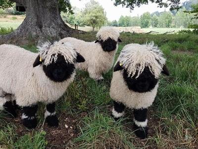 可愛的羊!瓦萊黑鼻羊有如毛線玩具