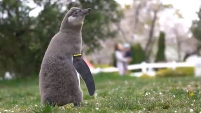 第一次看到櫻吹雪!小企鵝「興奮蹦跳→看到傻住」萌到融化