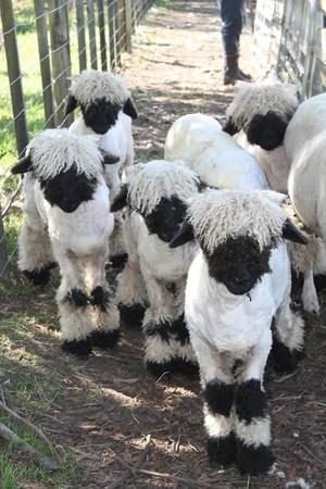 黑鼻羊性格溫柔,善與人類親近互動。(翻攝自Valais Blacknose New Zealand臉書)