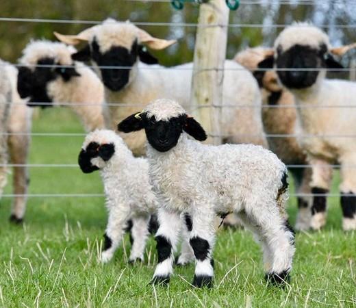 瓦萊黑鼻羊據悉為《笑笑羊》的原型。(翻攝自Valais Blacknose New Zealand臉書)