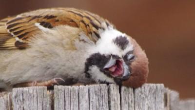 「吐舌歪頭」絕望倒下!攝影師拍到厭世麻雀:就是我的人生嘛