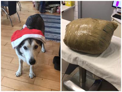 25kg哈士奇猝死 狗旅店凹成「黃色包裹」怕傳染