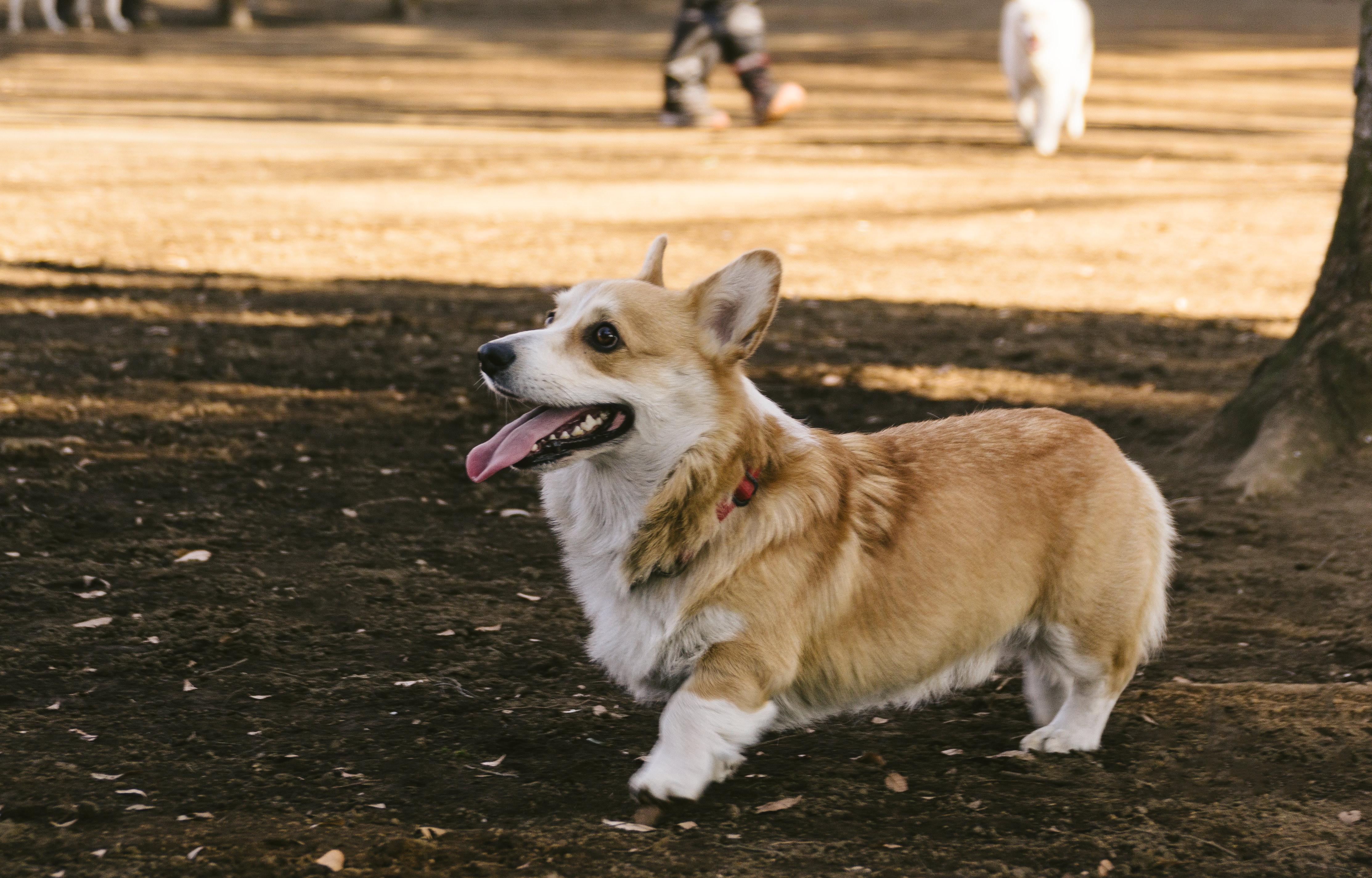 ▲柯基犬,柯基,狗狗。(圖/取自免費圖庫Pakutaso)