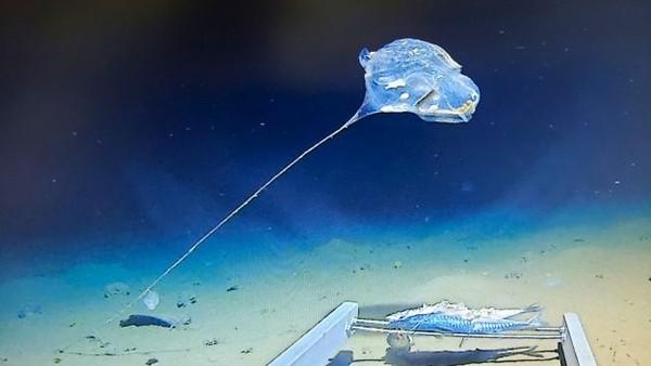 ▲在爪哇海溝深處發現的奇怪生物頭部圓圓、拖着一條長尾巴,全身發出美麗的藍光。(圖/Five Deeps Expedition)