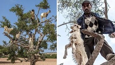 別信「山羊上樹」假照片!斂財農人釘板困住小羊,曬到中暑再換一隻
