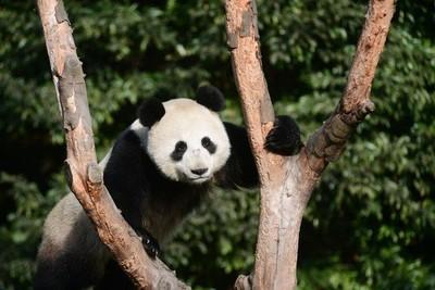 時格62年 中國再送俄2隻大貓熊