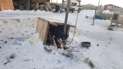 臥底揭露雪橇比賽惡行!狗狗落隊被拖行百尺 主人:讓牠知道減速的教訓