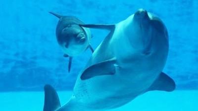 插管子灌精受孕!母海豚撞壁自殘,生下的小海豚遭囚養六年也死了