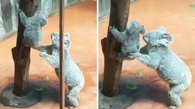 媽媽抱抱~目擊母無尾熊「張開大手」暖抱樹上寶寶 相擁瞬間觀眾融化了