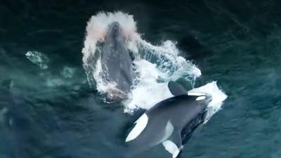 實錄「五隻殺人鯨」圍攻撕咬!母灰鯨肉身守護寶寶 腥血染紅大海雙雙慘死