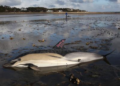 海豚傷重被安樂死 胃裡有塑膠和氣球