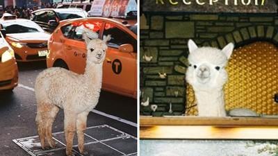 都市叢林「羊駝現蹤」!攝影師牽羊駝進城過馬路,呆萌臉療癒滿街上班族
