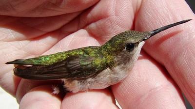 春季之約!特種部隊大叔拯救受傷蜂鳥 牠連四年春天「回娘家」探望