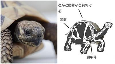 輕摸龜殼=人被襲胸!一張「龜殼人體化圖」 讓你秒懂牠的感受