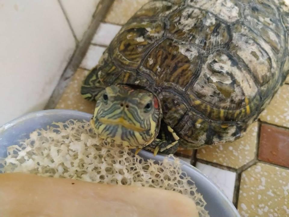 巴西龜養6年被當石雕 靠吃身上青苔過活 好心男看不下去收留