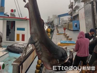 罕見! 花蓮漁民捕獲3.5米巨口鯊