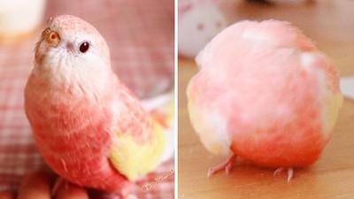 一彎腰變成「粉嫩水屁桃」!夢幻鸚鵡萌到爆紅 粉絲每天提醒飼主更新PO照