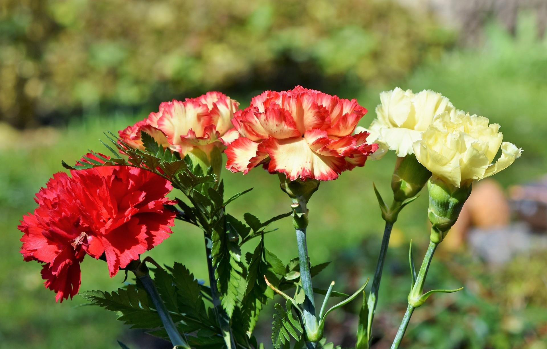 ▲康乃馨,母親節 。(圖/取自免費圖庫Pixabay)