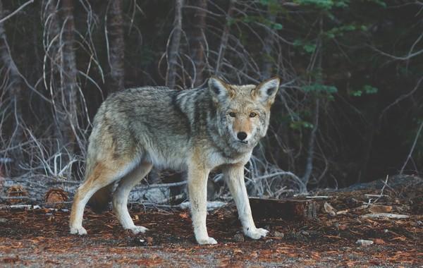 ▲▼ 郊狼,狼,野狼。(圖/免費圖庫pixabay)